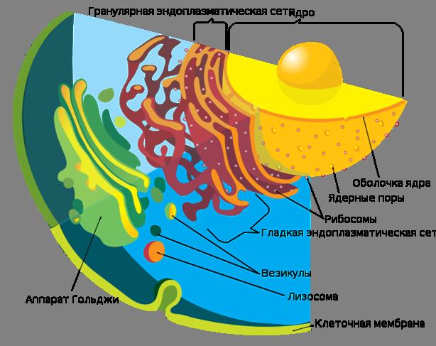 Органоиды клетки.